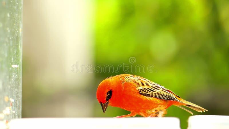 Uccello, fody rosso del Madagascar in uccelliera immagini stock libere da diritti