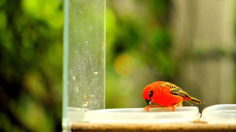 Uccello fody rosso del Madagascar in uccelliera, Florida immagine stock libera da diritti