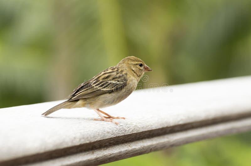 Uccello fody rosso femminile di Foudiamadagascariensis, delle Seychelles e del Madagascar immagini stock