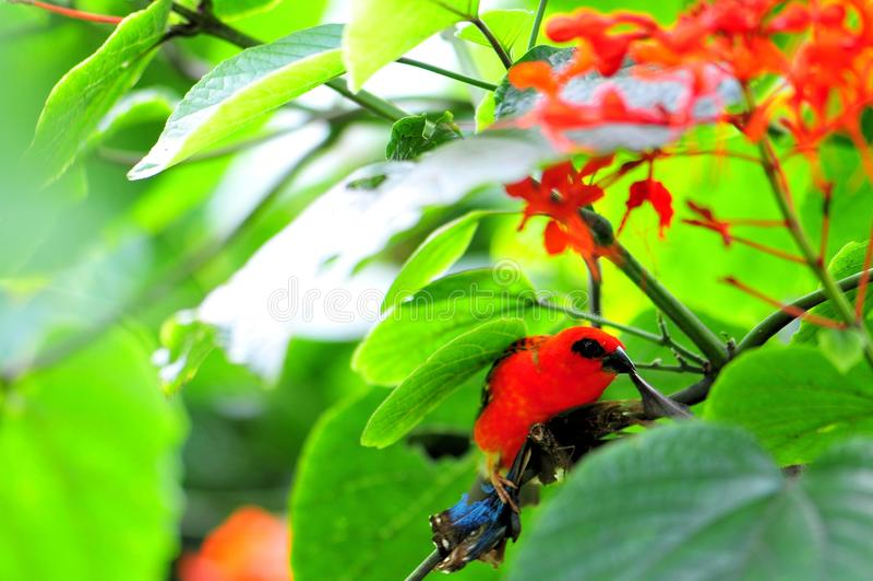 Uccello, fody rosso maschio del Madagascar immagine stock libera da diritti