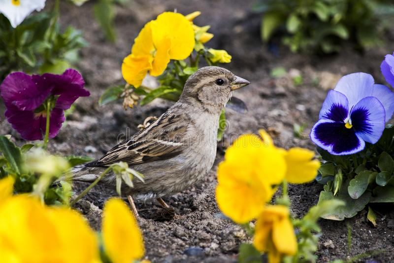Uccello fra la pansé gialla fotografie stock