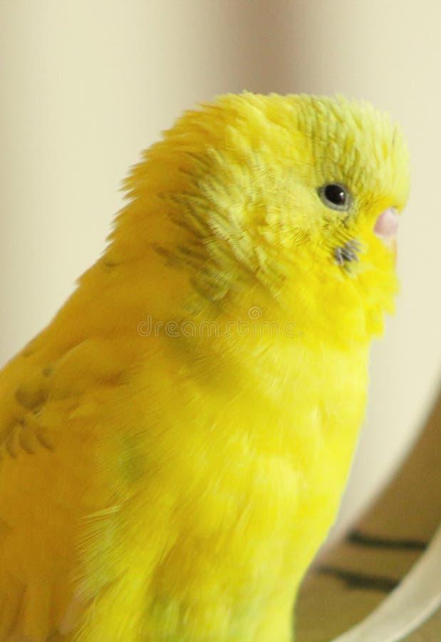 Uccello giallo fotografia stock