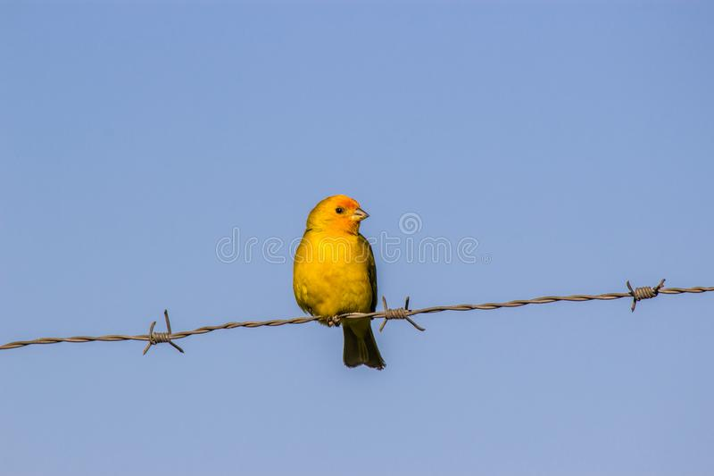Uccello giallo immagini stock