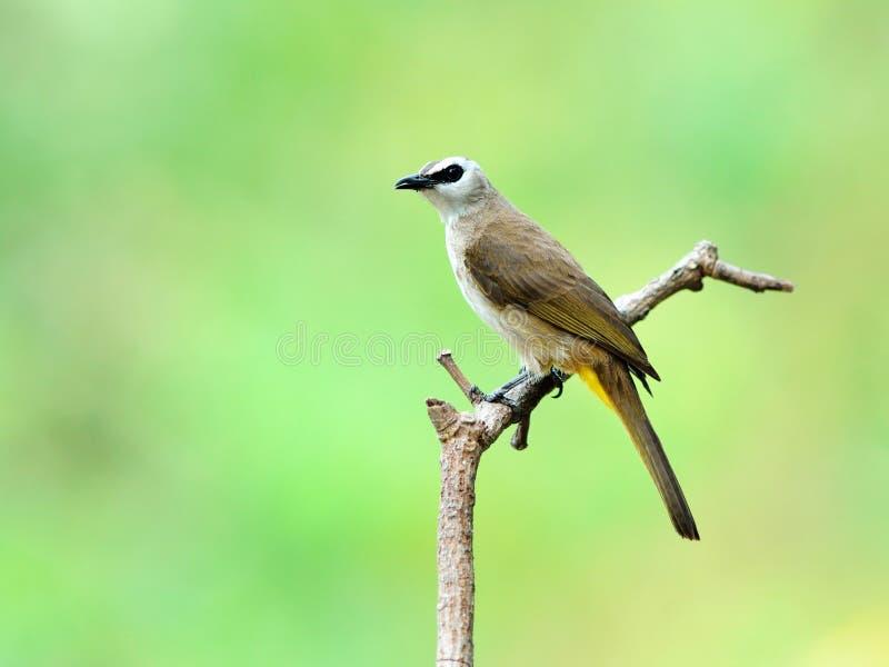 Uccello (Giallo-scaricato), Tailandia fotografia stock
