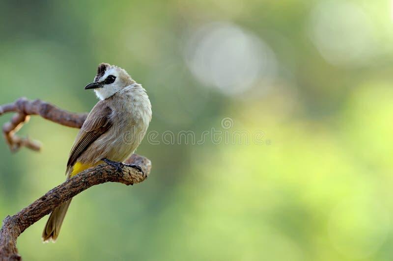 Uccello (Giallo-scaricato), Tailandia immagine stock libera da diritti