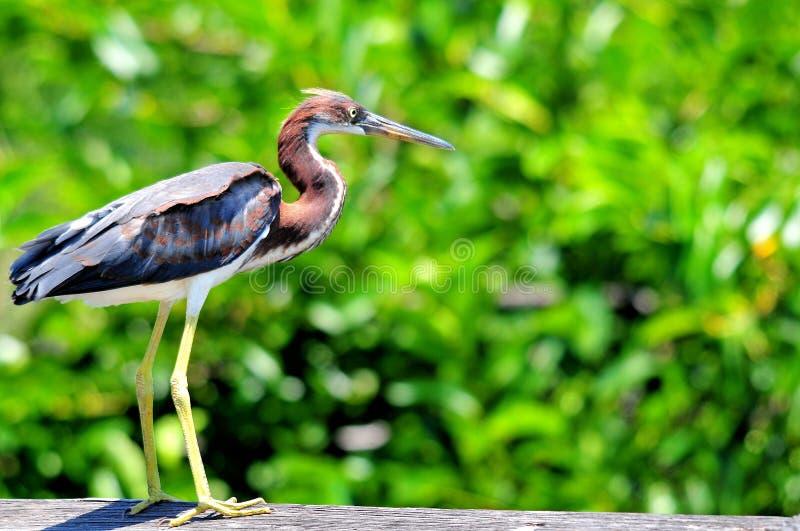 Uccello giovanile dell'airone della Luisiana nelle zone umide di Florida immagine stock libera da diritti