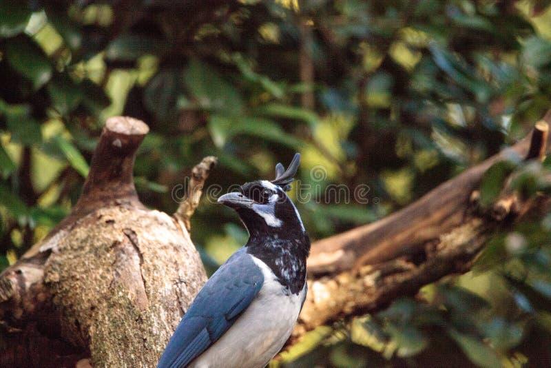 Uccello golanera di colliei di Cyanocorax di ghiandaia della gazza immagine stock