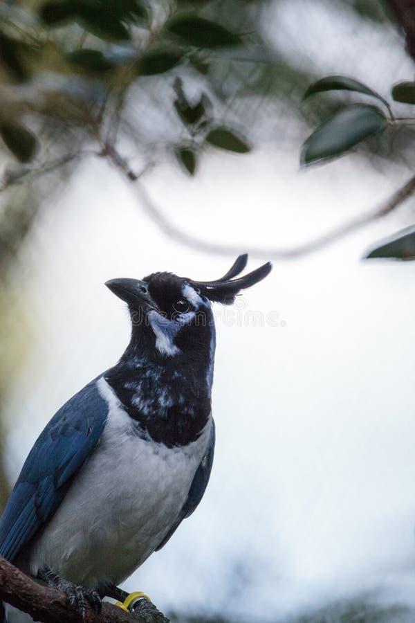 Uccello golanera di colliei di Cyanocorax di ghiandaia della gazza immagine stock libera da diritti