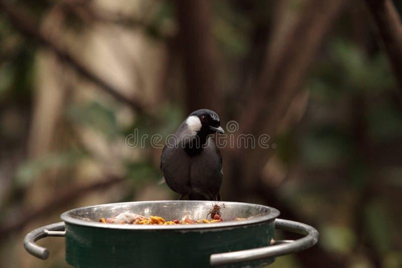 Uccello golanera Dryonastes di Laughingthrush chinensis immagine stock libera da diritti