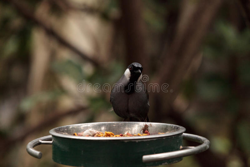 Uccello golanera Dryonastes di Laughingthrush chinensis immagine stock