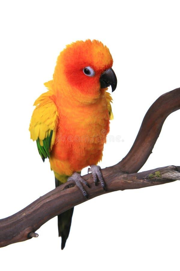 Uccello gonfio del pappagallo di Sun Conure fotografia stock