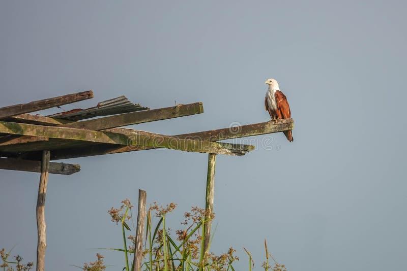 Uccello Haliastur indus dell'aquilone di Brahminy in natura a Thale Noi Waterfowl Reserve Lake, Tailandia fotografia stock