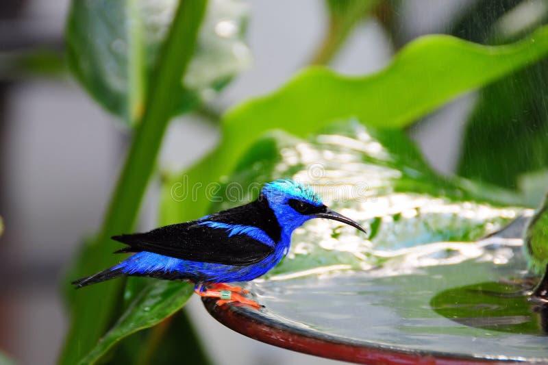 Uccello, Honeycreeper dalle zampe rosse fotografia stock libera da diritti