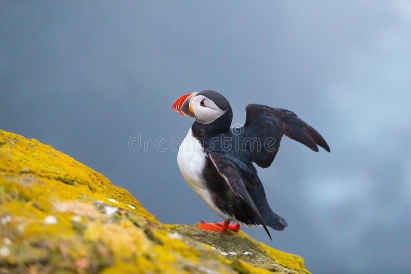 Uccello iconico sveglio del puffino, Islanda fotografie stock