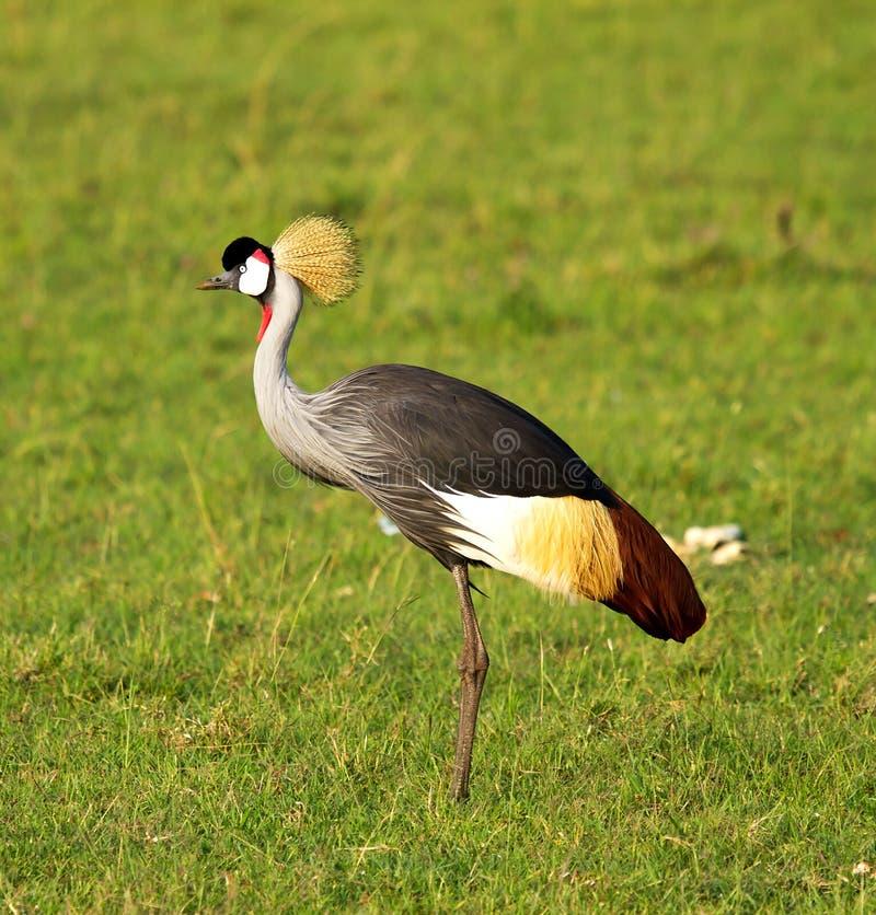 Uccello incoronato della gru fotografia stock