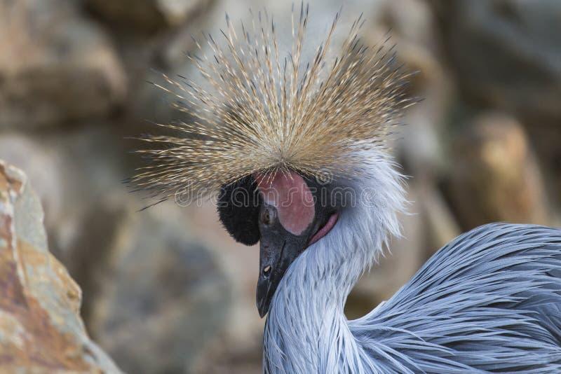 Uccello incoronato grigio della gru immagini stock libere da diritti