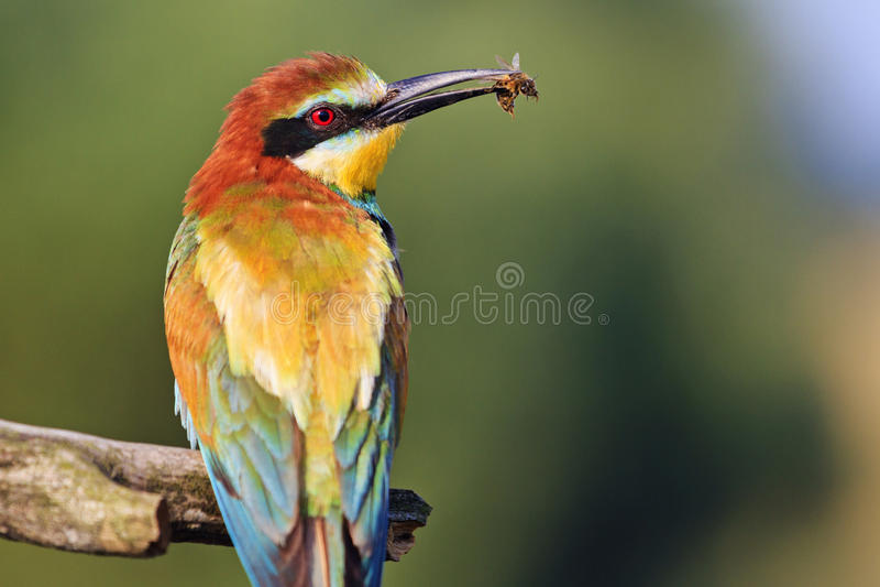 Uccello incredibilmente bello con un'ape in un becco fotografia stock libera da diritti