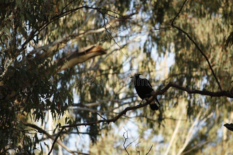 Uccello indigeno della gazza su un ramo di gumtree fotografie stock libere da diritti