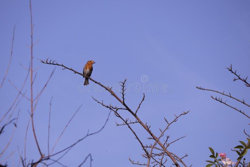 Uccello inglese di Robin in cielo blu della molla sul ramo immagini stock libere da diritti