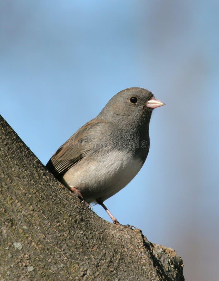 Uccello (Junco) Sulla Filiale Fotografie Stock Libere da Diritti