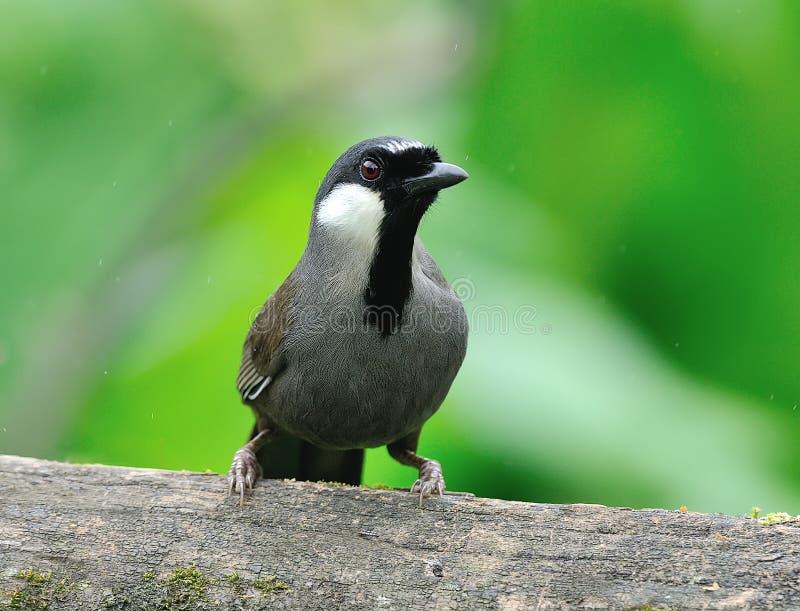 Uccello (Laughingthrush golanera), Tailandia immagine stock libera da diritti