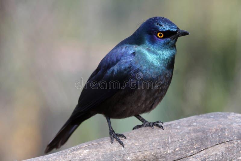 Uccello lucido di Starling fotografie stock libere da diritti