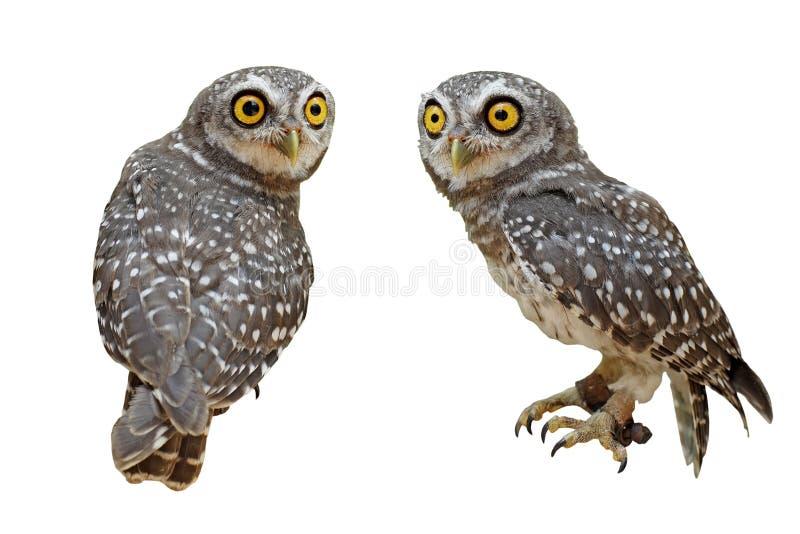 Uccello macchiato del brama delle atene o della giovane civetta fotografia stock libera da diritti