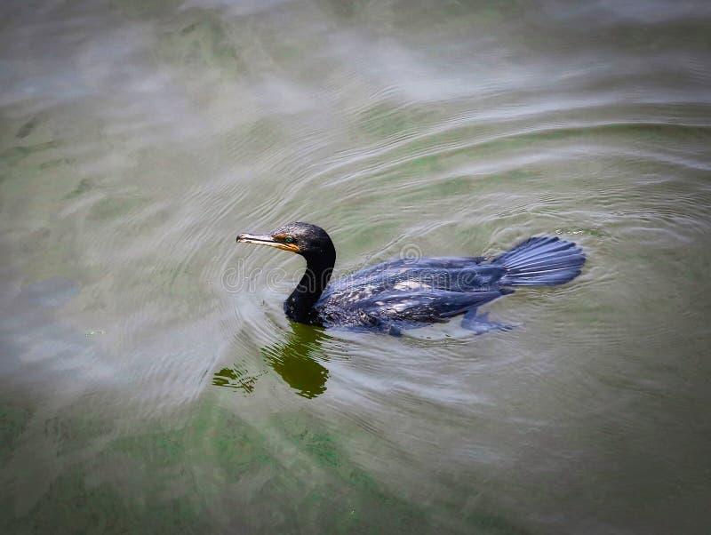 Uccello marino del cormorano a doppia cresta immagine stock
