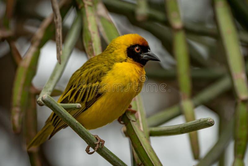 Download Uccello Mascherato Del Tessitore Appollaiato Sui Rami Verdi Immagine Stock - Immagine di africano, wildlife: 117975367