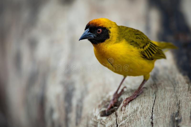 Download Uccello Mascherato Del Tessitore Appollaiato Sul Ceppo Morto Immagine Stock - Immagine di piume, filiali: 117975379