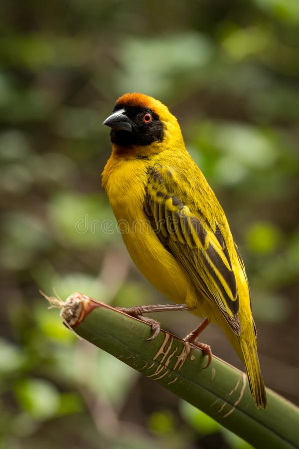Download Uccello Mascherato Del Tessitore Che Sta Sulla Pianta Verde Fotografia Stock - Immagine di filiale, piuma: 117975372
