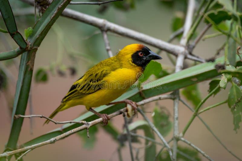 Download Uccello Mascherato Del Tessitore Nel Profilo Sul Ramo Fotografia Stock - Immagine di southern, serengeti: 117975346
