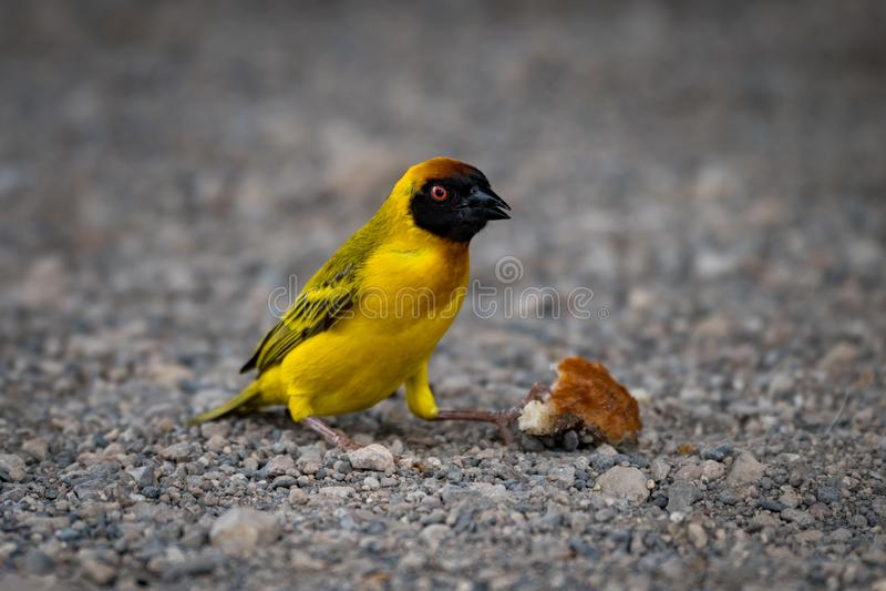 Download Uccello Mascherato Del Tessitore Su Ghiaia Con La Crosta Immagine Stock - Immagine di crosta, wildlife: 117975349