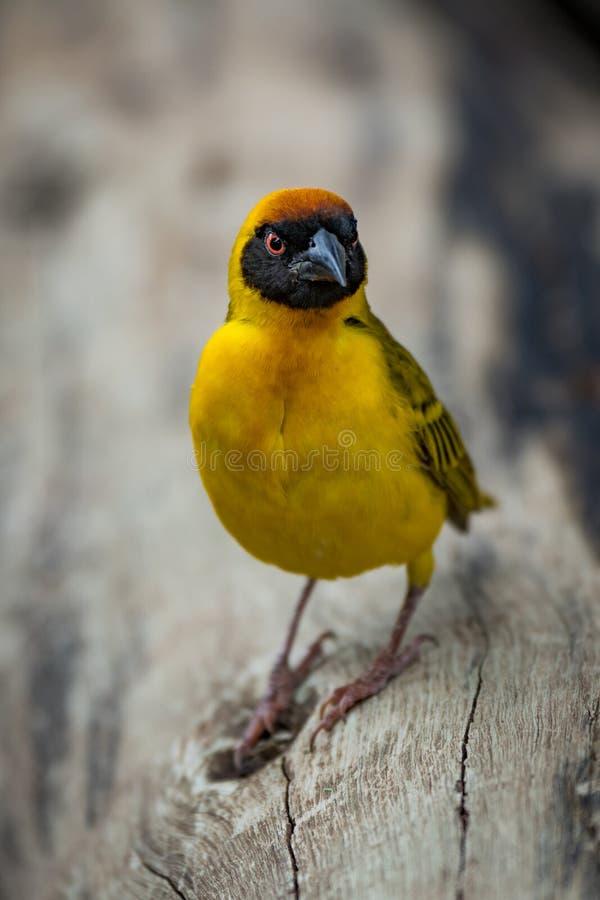 Download Uccello Mascherato Del Tessitore Sul Ceppo Che Sembra Arrabbiato Immagine Stock - Immagine di albero, rosso: 117975371