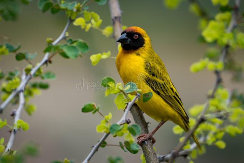 Download Uccello Mascherato Del Tessitore Sul Ramo Che Affronta Macchina Fotografica Fotografia Stock - Immagine di africa, albero: 117975352