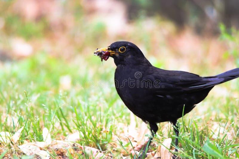 Uccello maschio del merlo osservando cibo sull'erba Uccello canoro marrone nero del merlo che si siede e che mangia le larve ed i fotografie stock libere da diritti