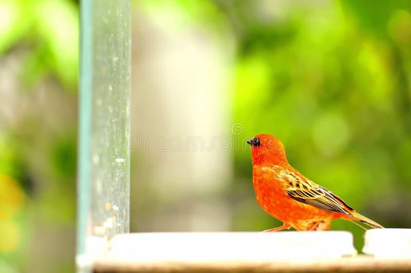 Uccello (maschio) fody rosso del Madagascar fotografia stock