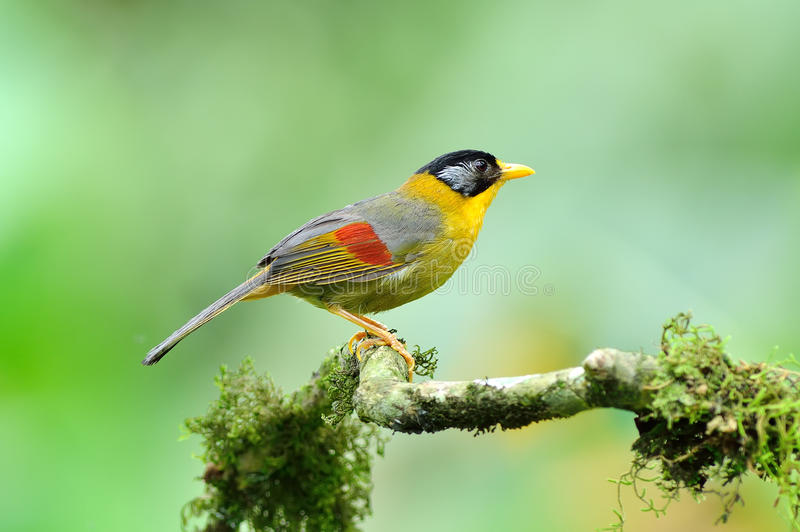 Uccello (Mesia Argento-eared), Tailandia immagini stock
