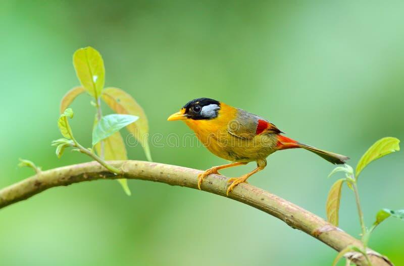 Uccello (Mesia Argento-eared), Tailandia fotografia stock libera da diritti