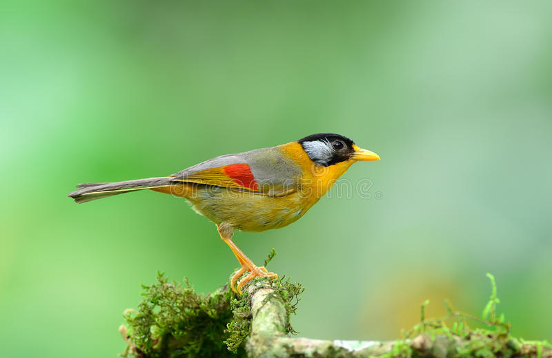 Uccello (Mesia Argento-eared), Tailandia immagine stock libera da diritti