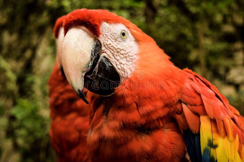 Uccello messicano immagini stock libere da diritti
