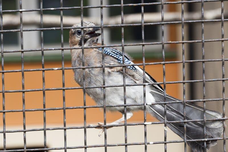 Uccello messo in gabbia fotografia stock