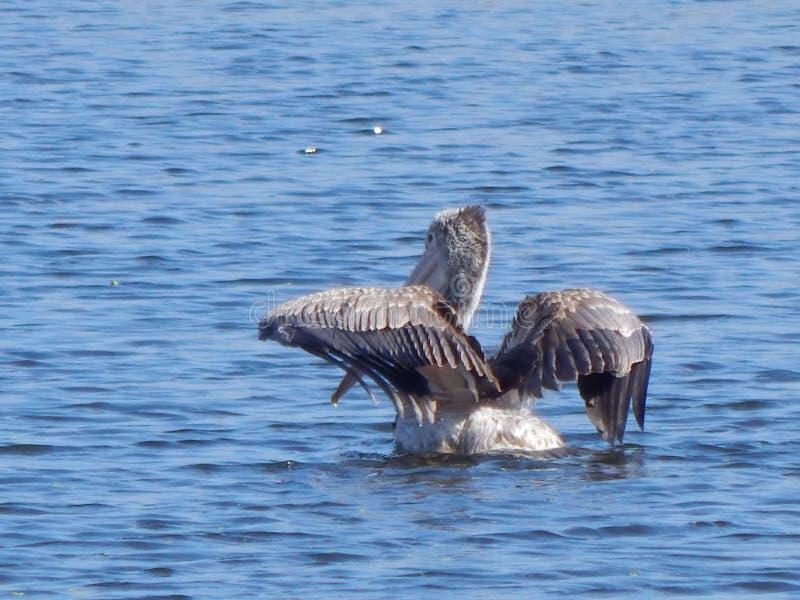 Uccello migratore immagine stock libera da diritti