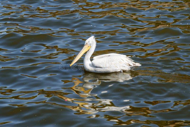 Uccello migratore del pellicano sul lago Anasagar in Ajmer L'India immagini stock