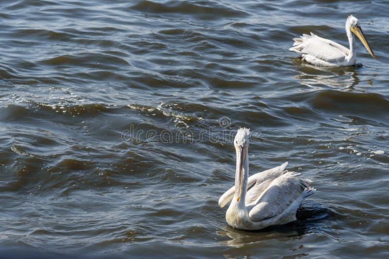 Uccello migratore del pellicano sul lago Anasagar in Ajmer L'India fotografie stock libere da diritti