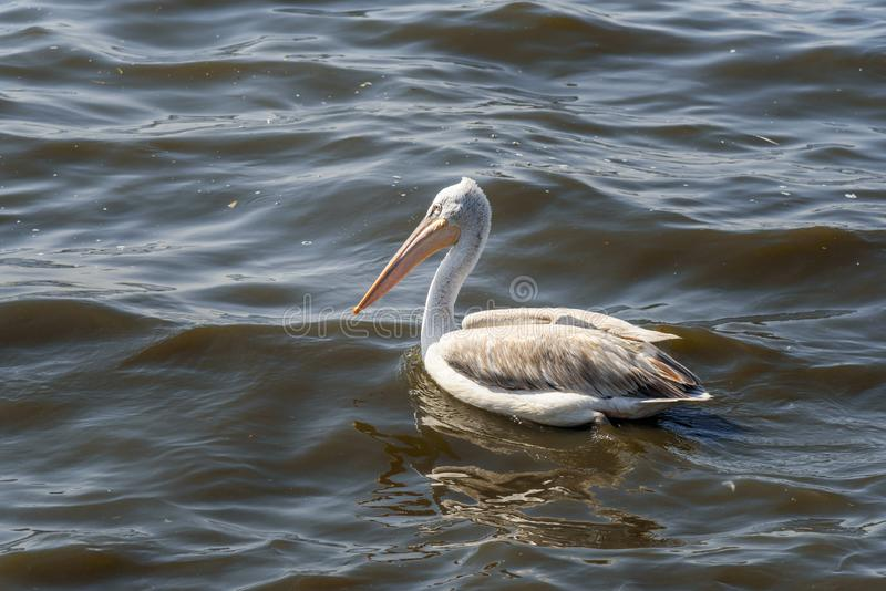 Uccello migratore del pellicano sul lago Anasagar in Ajmer L'India fotografia stock
