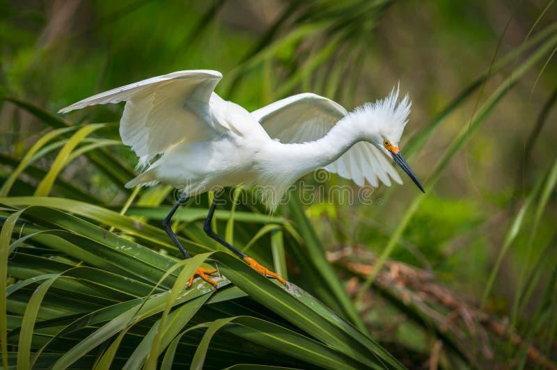 Uccello migratore dell'egretta di Snowy della fauna selvatica di Florida a St Augustine FL immagine stock libera da diritti