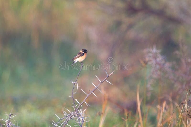 Uccello migratore di Stonechat del siberiano dalla Siberia fotografia stock