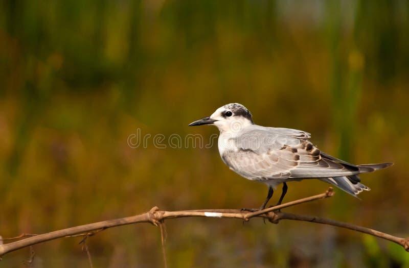 Uccello migratore - sterna di Whiskered fotografia stock