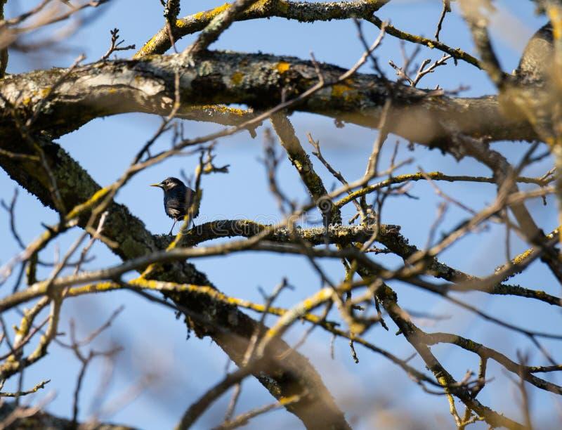 Uccello monocolore di Estorninho-preto dello Sturnus singolo sul ramo fotografia stock